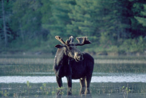 A moose in Maine's North Woods