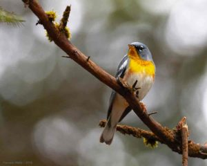 A northern parula warbler, photographed by Pamela Wells.