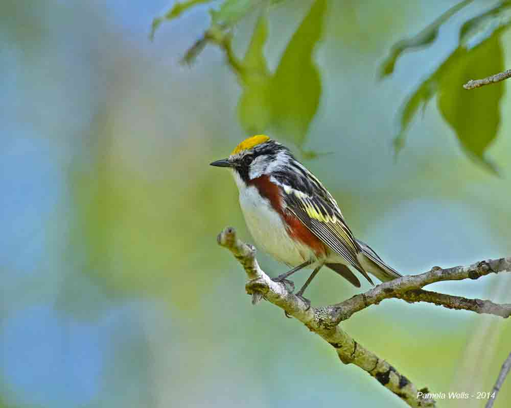 A photo of a chestnut-sided warbler taken by Pamela Wells.
