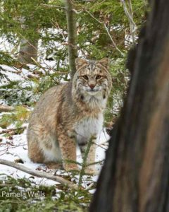 Bobcat in the woods. Photo by Pamela Wells
