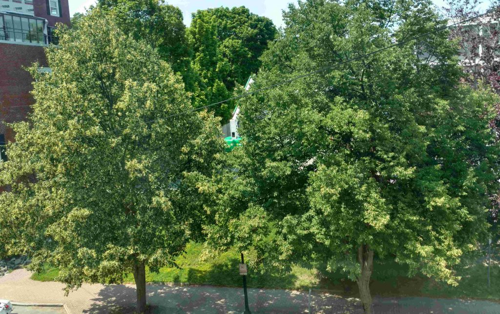 Two linden trees in bloom, seen from FSM's window