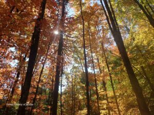 Maine's autumn foliage, looking up from the forest floor with the sunlight streaming through the colorful leaves.